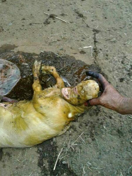 بالصور: ولادة ماعز بوجه إنسان تثير الذعر بقرية سعودية 459242-2