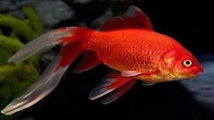 علماء يكتشفون لغزا مخيفا لدى أسماك الزينة 679656-1.jpg?width=300