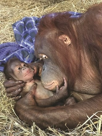 أنثى إنسان الغاب تستقبل صغيرها بعد 25 عاماً من الانتظار 684090-33737.jpg?width=330