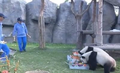 بالفيديو.. احتفال كبير بعيد ميلاد 2 من حيوان الباندا في الصين